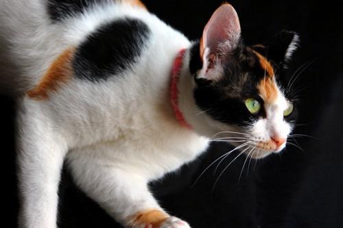 黒バックの猫の上半身