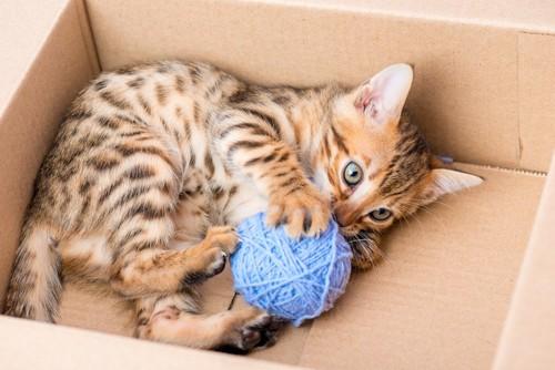 箱の中で毛糸玉を抱えるベンガル猫の子猫