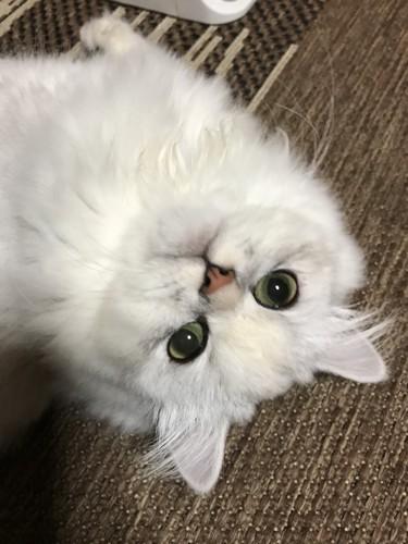 遊んでアピールをする猫