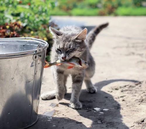 生魚を食べる猫