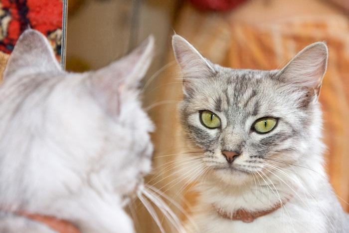 鏡を見て無反応な猫
