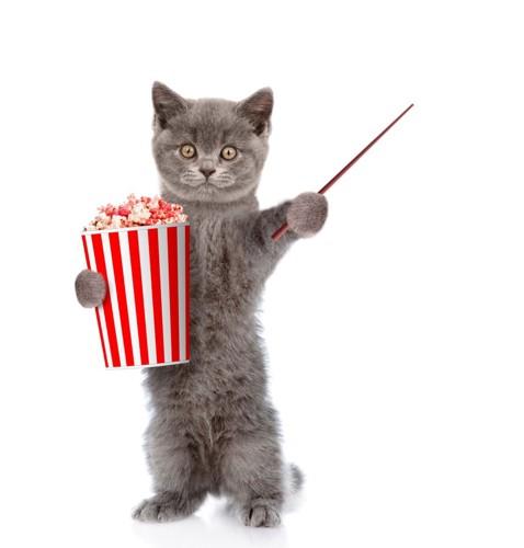 ポップコーンの箱を抱えているグレーの猫