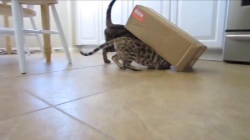 段ボールにはいる猫