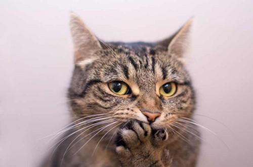 前足で口元を押さえる猫