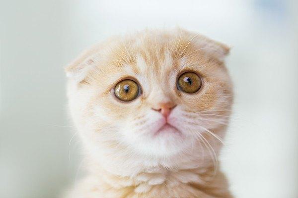 スコティッシュフォールドの子猫の顔