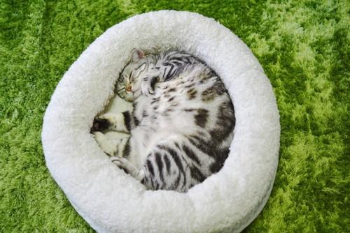 猫ベッドでアンモニャイト