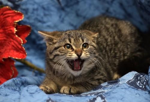 怖がって鳴く猫