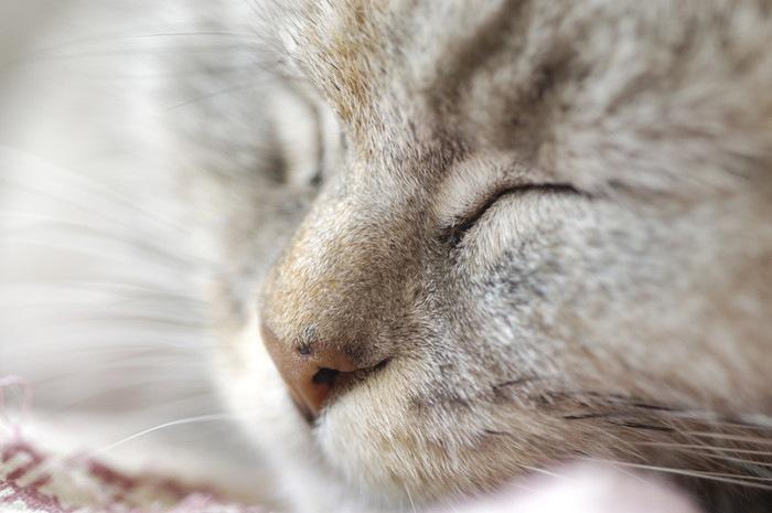 目を瞑る猫の顔アップ