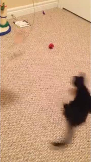 回りながら追いかける猫