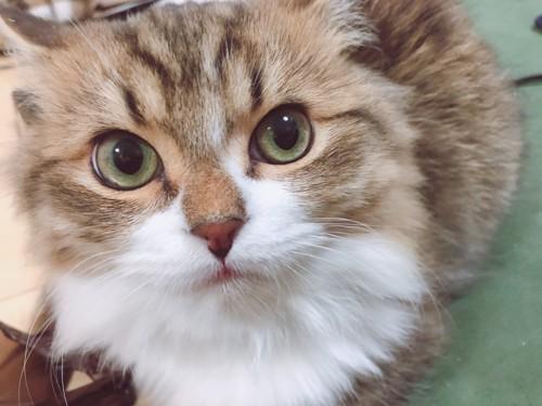 こちらを見上げる猫のアップ