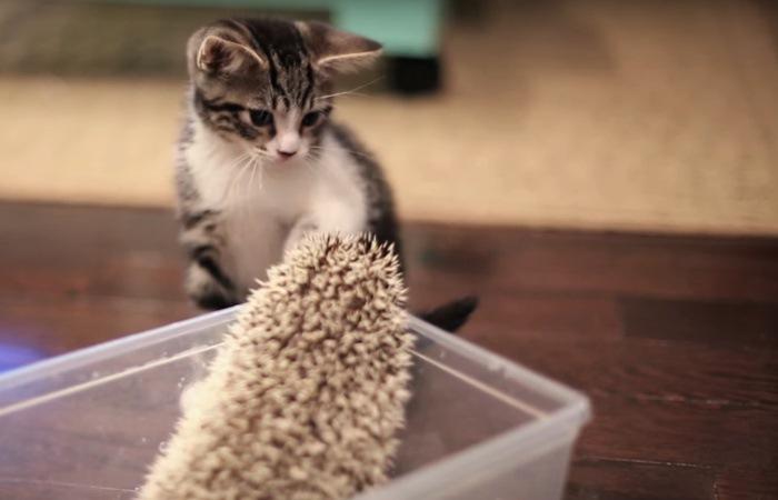 ハリネズミと見つめ合う子猫