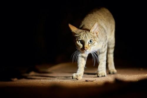 暗闇の中でこちらに向かって歩いてくる猫