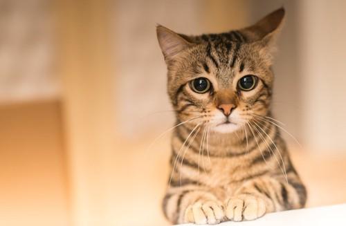 立ち上がってこちらを見つめる猫