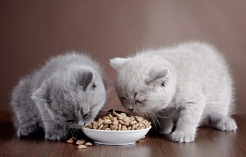 キャットフードを食べるブリティッシュショートヘアの子猫2匹