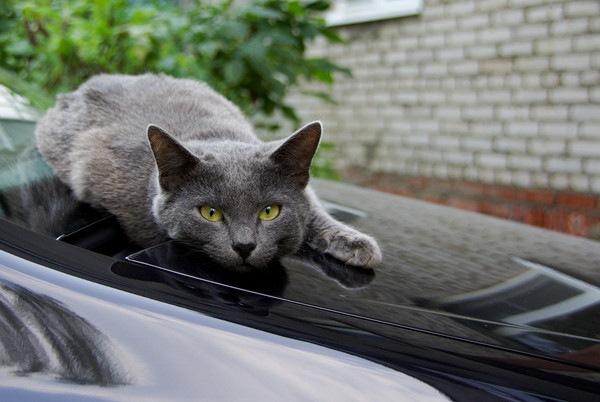 ボンネット上の猫