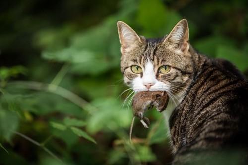 ネズミをくわえたキジトラ白