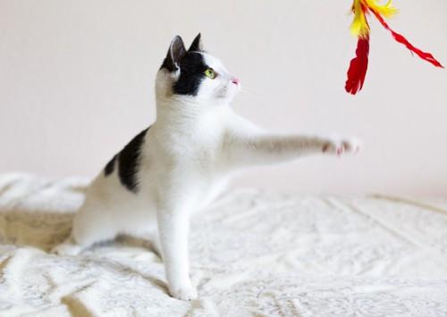 ねこじゃらしで遊ぶ猫