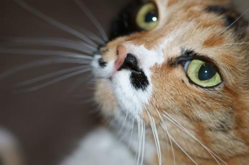 三毛猫の横顔アップ