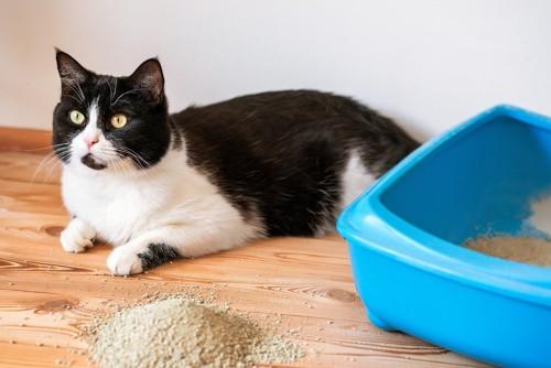 青い猫トイレとハチワレ猫