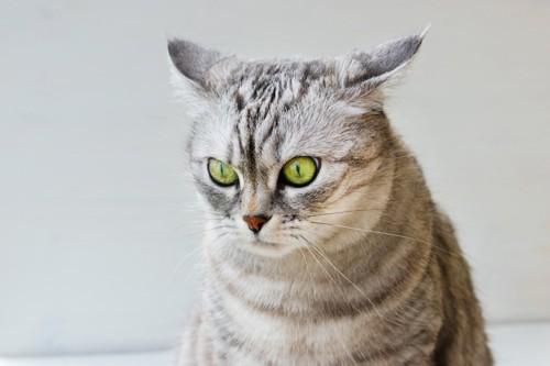 ストレスを感じて耳を伏せる猫
