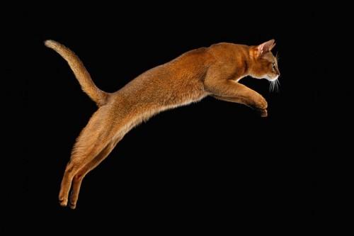綺麗にジャンプする猫