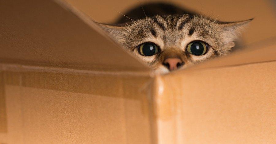 ダンボールから覗く猫