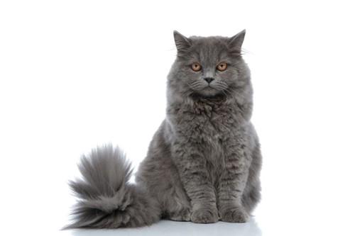 お座りする灰色の猫