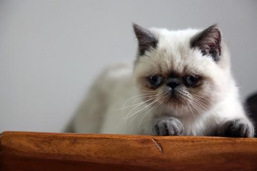 ヒマラヤンの子猫
