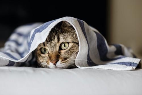ブランケットを被っている猫