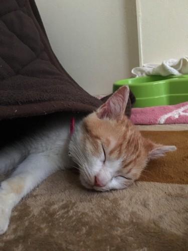 コタツで寝るセナ