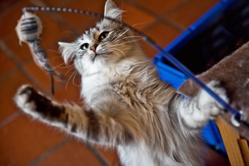 猫じゃらしに手を伸ばして遊ぶ猫