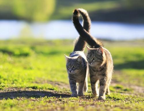 しっぽをからませて歩く二匹の猫