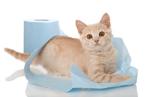 トイレットペーパーでいたずらしている子猫
