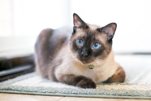鳴くシャム猫
