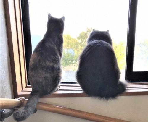 並んで外を眺める猫
