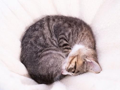 丸くなって寝るキジトラの子猫