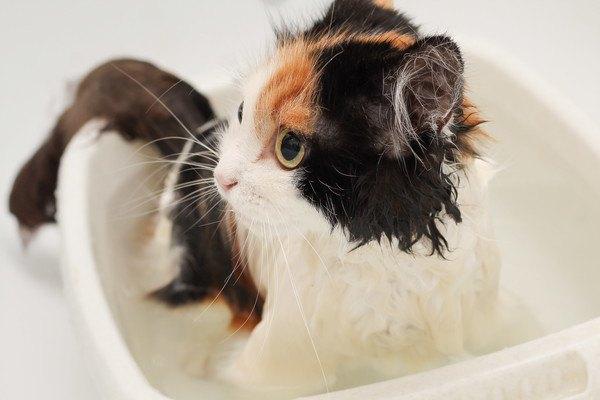 お風呂場の三毛猫
