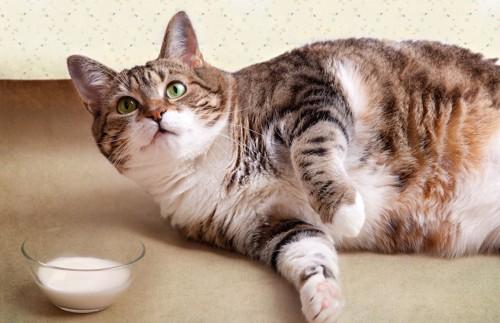 ミルクと寝転がる肥満猫
