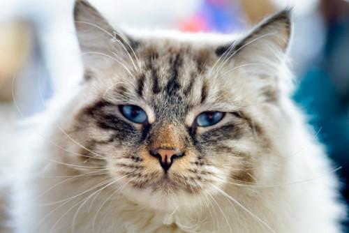 青い瞳のラガマフィン
