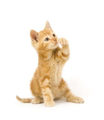 もぐらたたきをしたい猫