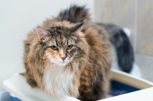 トイレで神妙な顔の猫