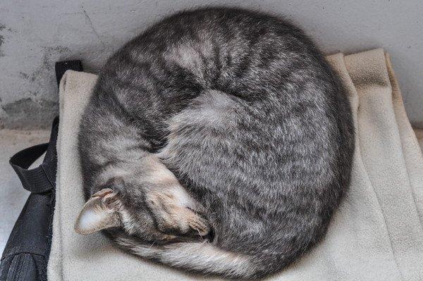 丸くなって寝るキジ猫