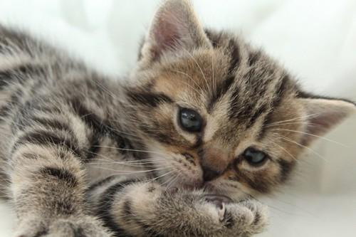 つまらなさそうな子猫