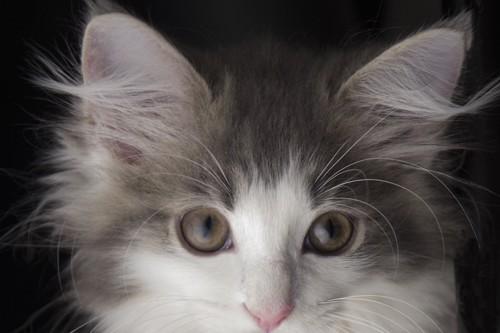 耳の大きな猫