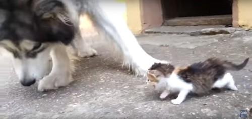 犬に叱る子猫