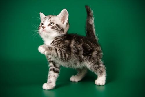 しっぽを立てるアメショーの子猫