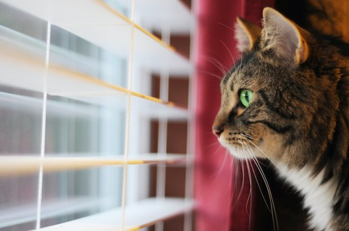 ブラインドの外を見る猫の横顔