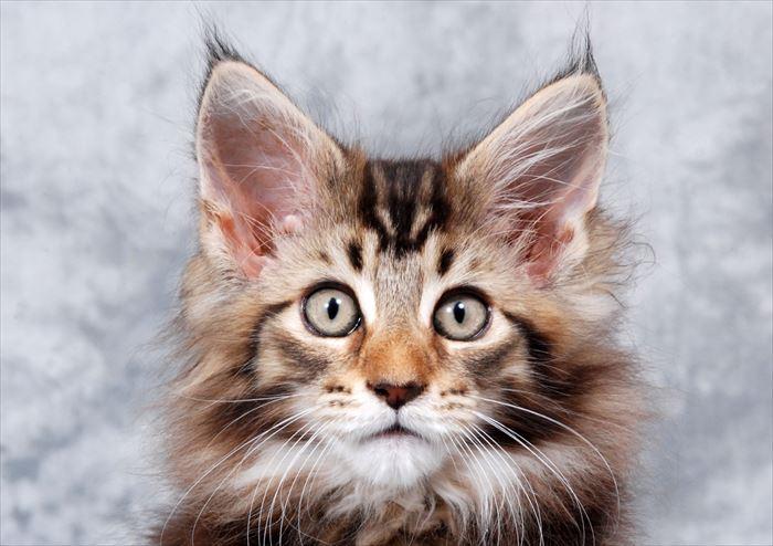 メインクーン子猫の顔