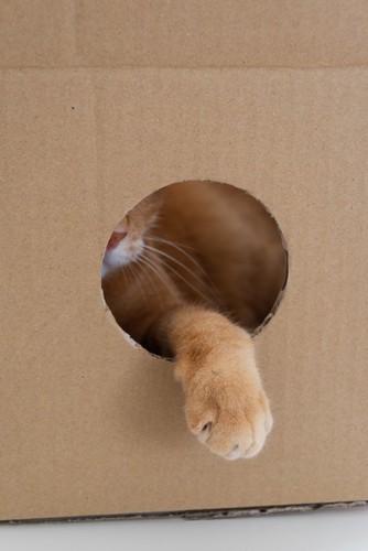 ダンボールに空けられた穴から手を出す猫