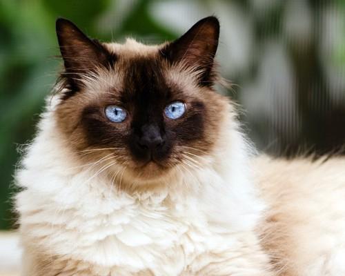 こちらを見つめるブルーの瞳のヒマラヤン